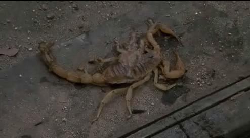 а вот как лежит скорпион после того, как его раздавили!